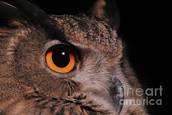 Judy Whitton - Eurasian Eagle-owl #3