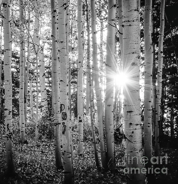 The Forests Edge Photography - Diane Sandoval - Evening In An Aspen Woods BW