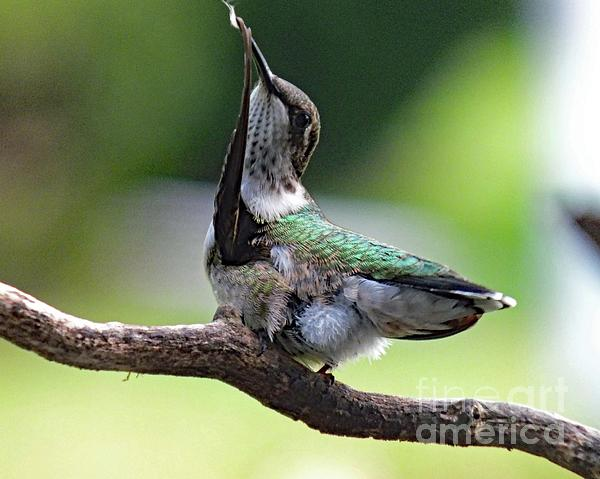 Cindy Treger - Feather Cleaning - Ruby-throated Hummingbird