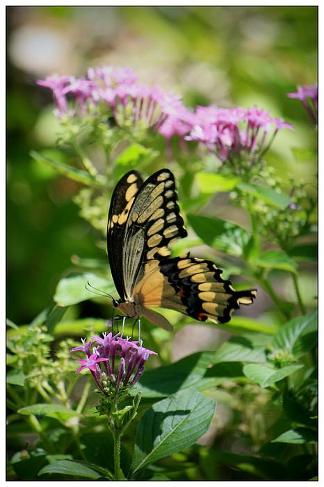 Mandy Shupp - Feeding the Butterflies
