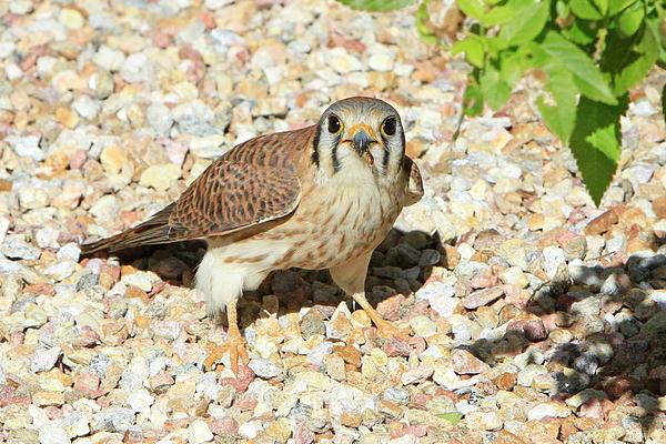 Shoal Hollingsworth - Female Kestrel Falcon