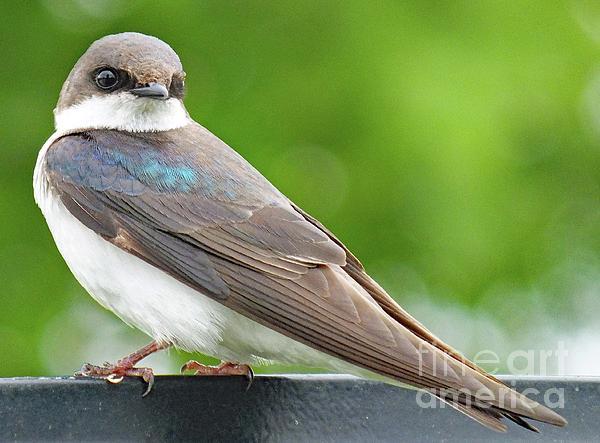 Cindy Treger - Dull Beauty - Female Tree Swallow