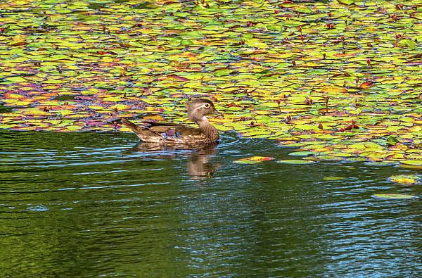 Marv Vandehey - Female Wood Duck and Lily Pads