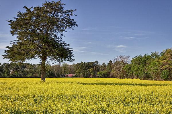 Stuart Litoff - Field of Canola Flowers
