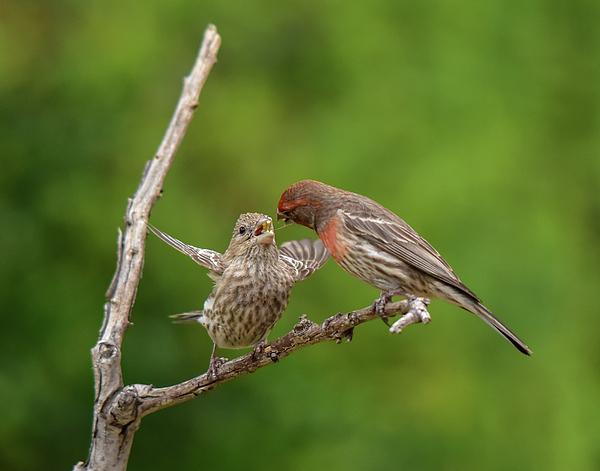 Linda Brody - Finch Feeding Time I
