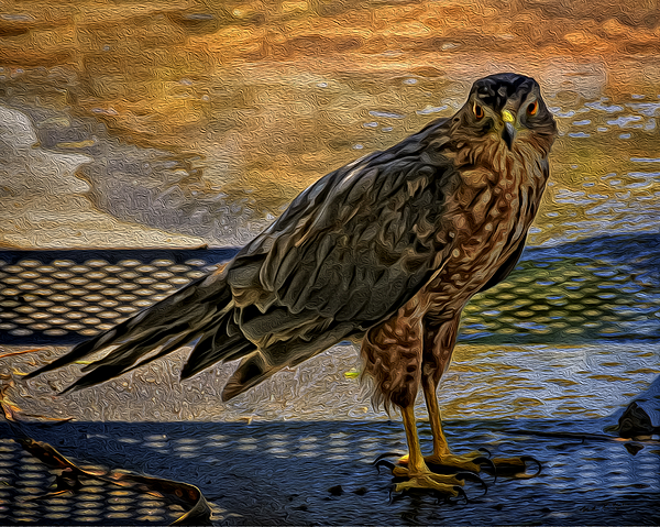 Coopers Hawk No.32 Photograph