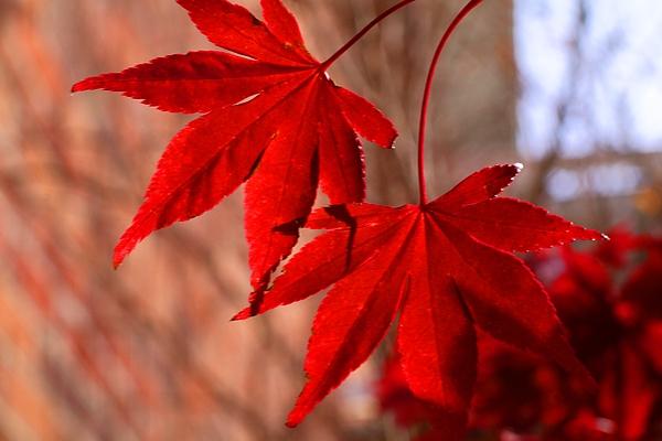 Kathryn Meyer - Fireglow Japanese Maple 1