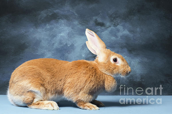 Flemish Giant Rabbit Carry All Pouch