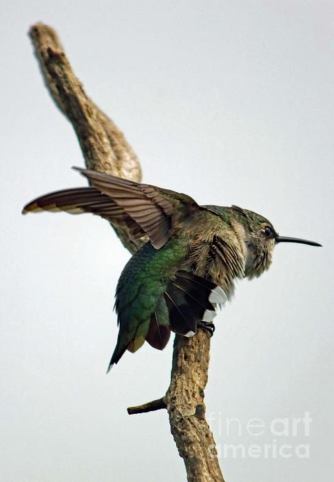 Cindy Treger - Flexing From On High - Ruby Throated Hummingbird