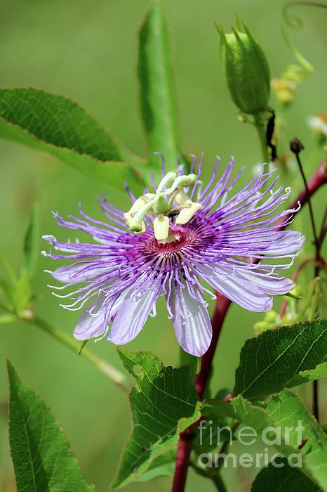 Carol Groenen - Florida Wildflower - Purple Passionflower