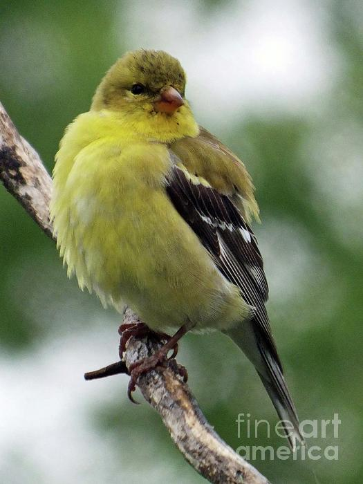 Cindy Treger - Fluffy - American Goldfinch