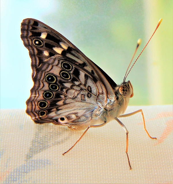 Honey Behrens - Flutter By Butterfly