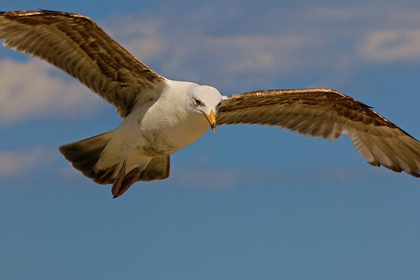Sharon Mayhak - Flying Gull