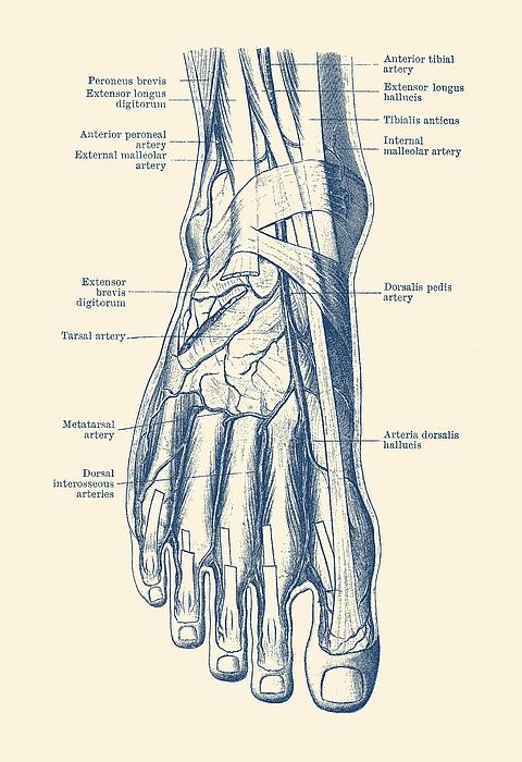 Vintage Anatomy Prints Website
