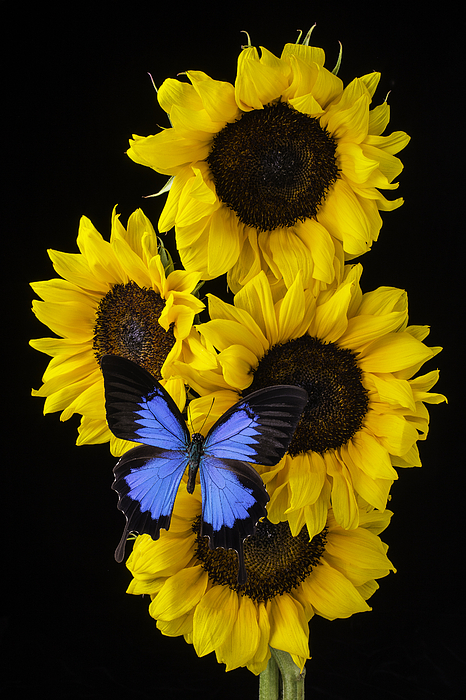 sunflower gay singles Windy city times news archive - lifetime partners share their bliss with a sunflower the image of the sunflower has always been equated with happiness for kids, its popularity is the botanical answer to a dinosaur.