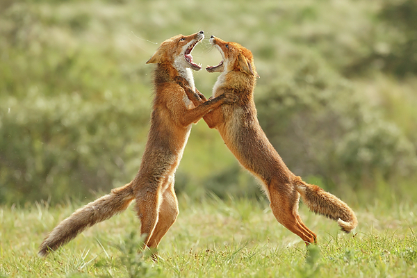 Roeselien Raimond - Fox Trot - Fighting red foxes