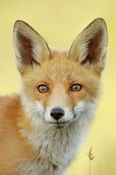 Roeselien Raimond - Foxy Faces Series- Young and Eager Fox