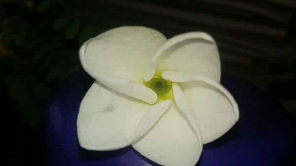 Nilu Mishra - Frangipani, Magnolia