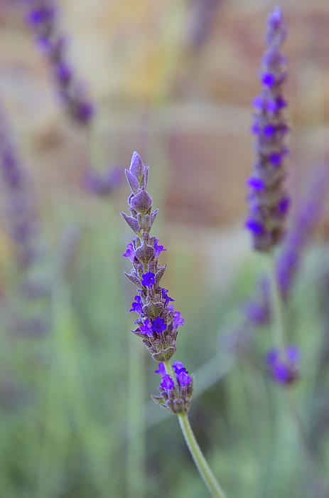 Kathy Yates - French Lavender