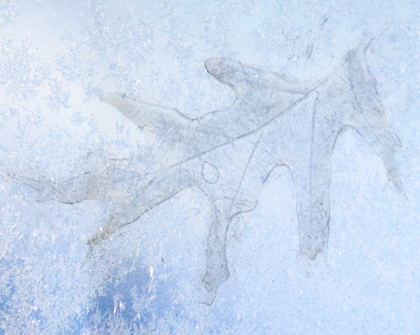 Kathy M Krause - Frozen Oak Leaf Imprint