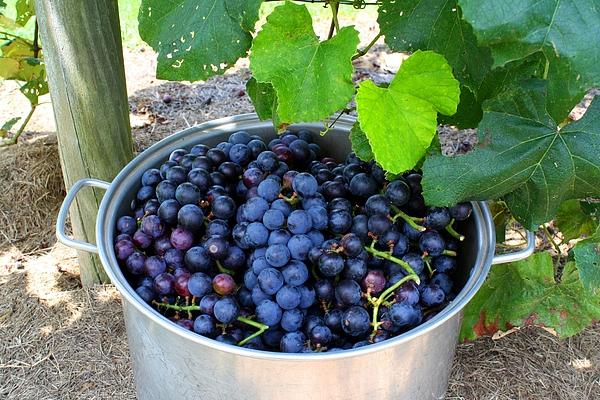 Kathryn Meyer - Fruit of the Vine