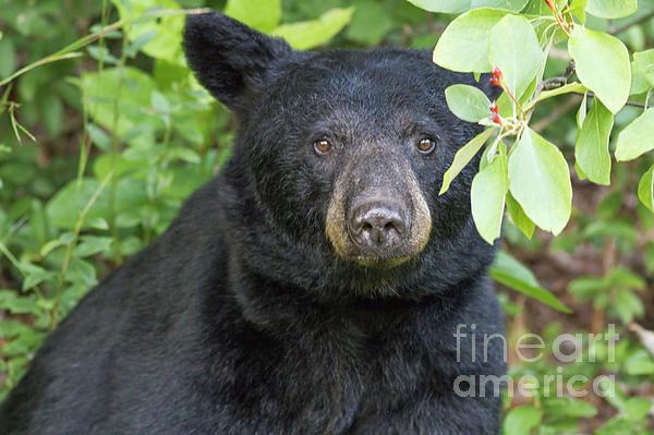 David Cutts - Gazing Black Bear