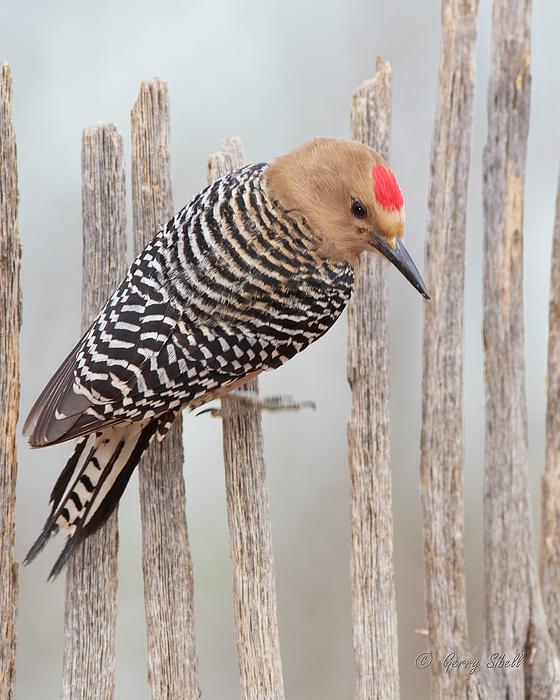 Gerry Sibell - Gila Woodpecker