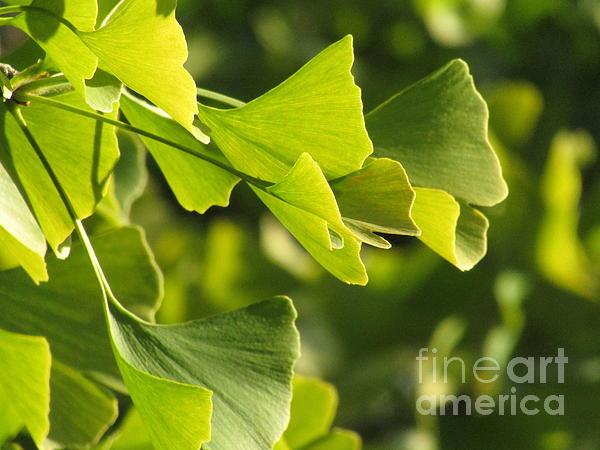 Kim Tran - Ginkgo leaves