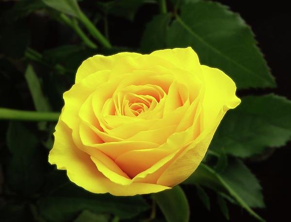 Johanna Hurmerinta - Glorious Yellow Rose