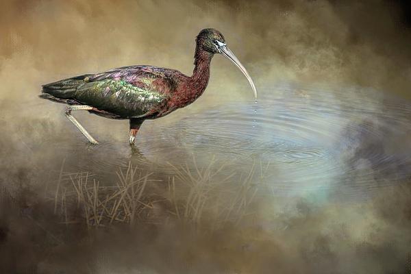 Donna Kennedy - Glossy Ibis