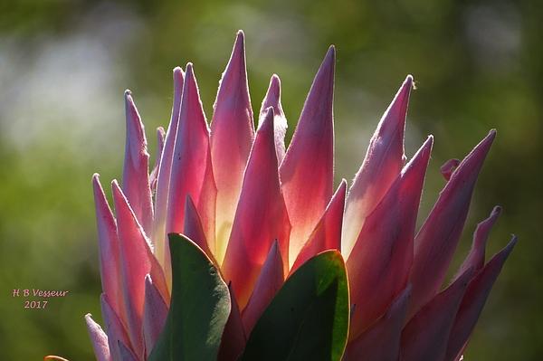 B Vesseur - Glowing Protea