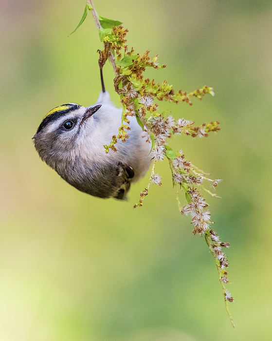 Morris Finkelstein - Golden-Crowned Kinglet Hanging from a Branch