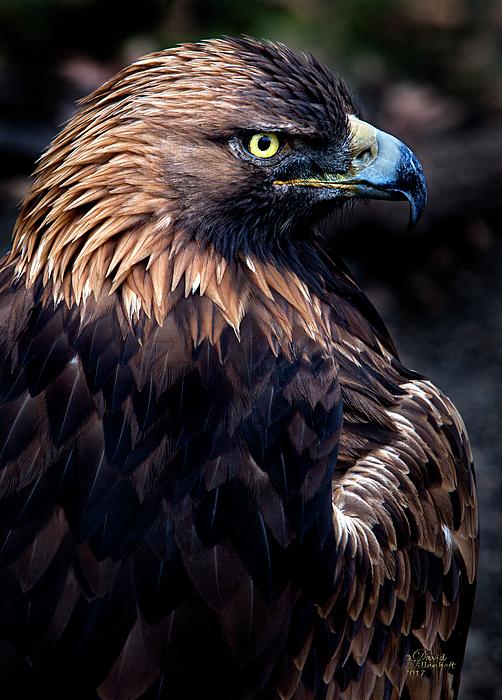 David Millenheft - Golden Eagle 1