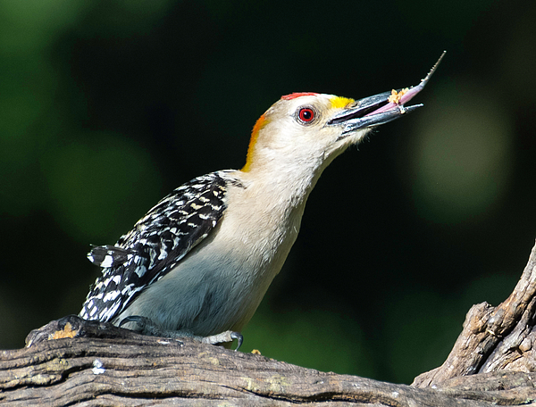 Peggy Blackwell - Golden Fronted Woodpecker