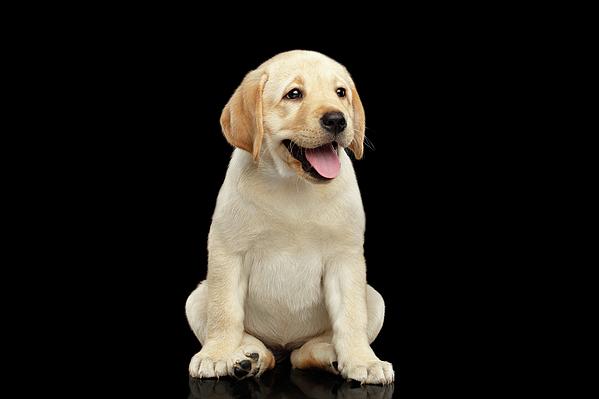 Sergey Taran - Golden Labrador Retriever puppy isolated on black background
