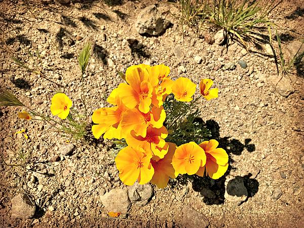 Barbara Zahno - Golden Poppies in the Desert