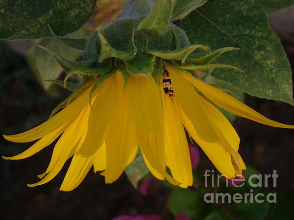 Beverly Guilliams - Golden Sunflower