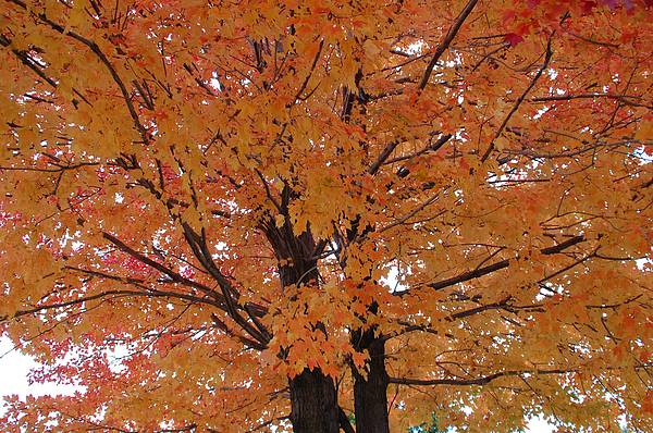Aimee L Maher Photography and Art Visit ALMGallerydotcom - Golden Tree
