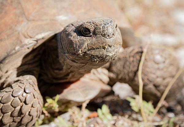 Edie Ann Mendenhall - Gopher Tortoise