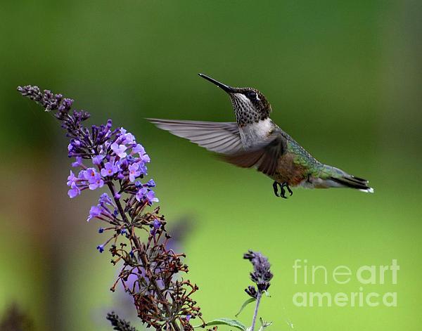 Cindy Treger - Graceful - Ruby-throated Hummingbird