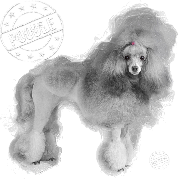 Gray Toy Poodle No 01 T Shirt For Sale By Mia Stedt