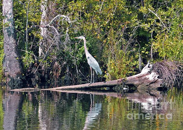 Lydia Holly - Great Blue Heron In Carolina