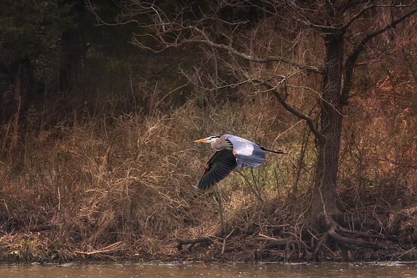 Susan Rissi Tregoning - Great Blue Heron in Flight