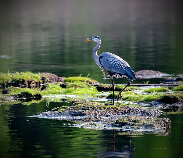 Brian Wallace - Great Blue Heron In Pond