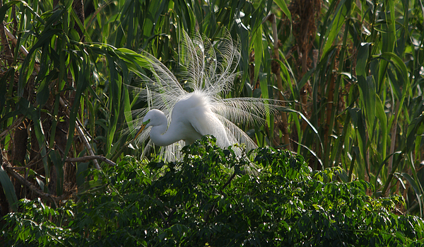 Roy Williams - Great Egret Displays Windy Mating Plumage