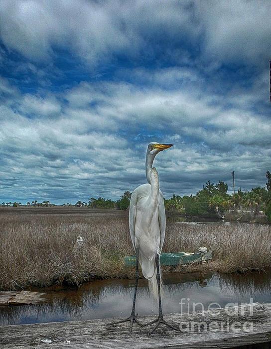 Judy Hall-Folde - Great Egret