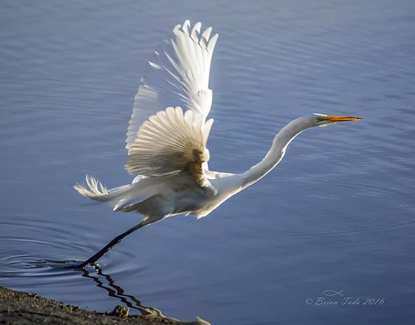 Brian Tada - Great Egret Taking Flight