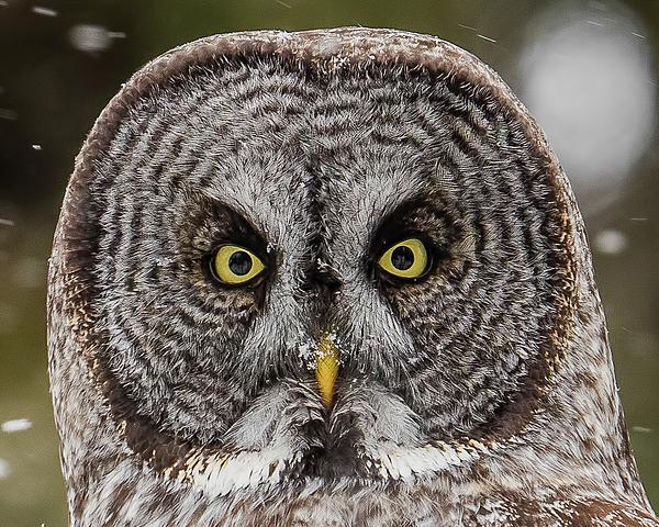 Morris Finkelstein - Great Gray Close Up