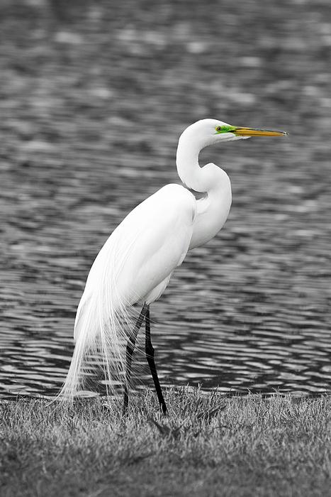 Paul Quinn - Great white egret