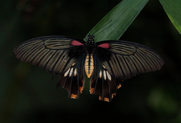 Ruth Jolly - Great Yellow Mormon Butterfly
